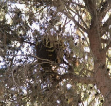 Bee remove from a home in Tolleson Arizona 50' up in a pine tree