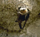 Swallow bird control, biology and information habits