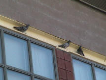 Pigeon control spike and netting at a school